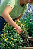 Viola cornuta / Hornveilchen im Mai aus der Amphore nehmen