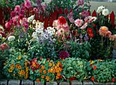 Beet mit rotem Zaun, Dahlien, Salvia farinacea, Cosmos,