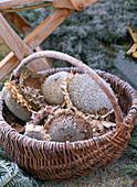 Helianthus annuus / Korb mit getrockneten Samenständen von