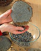 Samen von Helianthus annuus / Sonnenblume auslösen