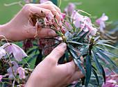 Verblühte Blüten beim Rhododendron ausbrechen
