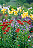 Lilium 'Royal Gold' / Lilie, Aurelian - Hybride, intensiv duftend, Lychnis