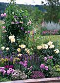 Lathyrus odoratus / Duftwicken, Rosa 'Ambiente' / Edelrose (Noack),