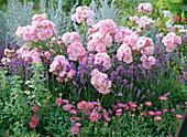 Rosa 'Bonica' / Strauchrose, Lavandula 'Munstead' / Lavendel,