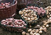 Solanum tuberosum 'Roseval', 'Belle de Fontenay', Rosara'