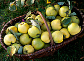 Cydonia 'Konstantinopler' / Apfelquitten, frisch geerntet im Korb