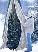 Camellia / winterharte Kamelie