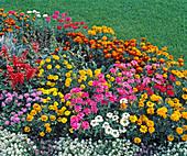 Verbena Hybride, LOBULARIA MARITIMA 'Schneeteppich'