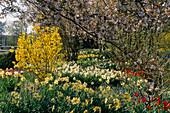 Frühlingsgarten mit NARZISSEN