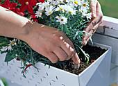 Dauerdünger für Balkonblumen in