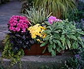 Lysimachia, HERBSTCHRYSANTHEMEN, AJUGA, Carex hachijoensis, COLCHICUM, Salvia 'I