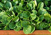 Feldsalat aussäen und in Balkonkasten einpflanzen