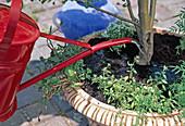 Apfelbäumchen mit wechselnder Unterpflanzung auf der Terrasse