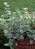 Euonymus fortunei 'Harlequin' (Weissbunte Kriechspindel)