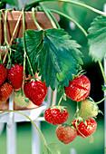 Erdbeere 'Elsanta' (Fragaria) trägt suesse aromatische Früchte
