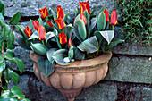 Tulipa 'Engadin' mit WANDGEFÄß