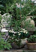 Tulpe 'SUZANNE', PRUNUS Glandulosa 'Alboplena',