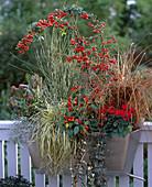 Balkonkasten herbstlich bepflanzt mit Pyracantha (Feuerdorn), Capsicum