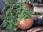 Ananassalbei (Salvia rutilans) in Terracotta