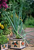 Winterzwiebel, Winterheckenzwiebel (Allium fistulosum) im Keramiktopf