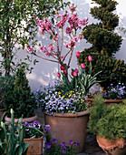 PRUNUS Persica, MYOSOTIS sylvatica, Tulipa