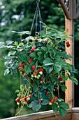 Flower Tower - Pflanzsack mit Erdbeere 'Elsanta' (Fragaria)