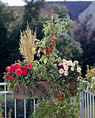 Balkonkasten mit Dahlia variabilis, Kochia scoparia und Cocktailtomate