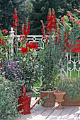Mentha suaveolens, Solanum rantonnettii, Lobelia speziosa, Dahlia-HYBR.