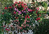 Fuchsia-HYBR., AGERATUM houstonianum,