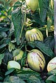 Solanum muricatum 'Pepino Gold' (melon pear)