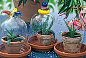 5. Step - Oleandersteckling zur Bewurzelung