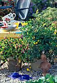 OXALIS Succulenta Gelb, OXALIS deppei