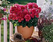 CHRYSANTHEMUM-indicum-Hybride, 'ROBIN', Herbstaster
