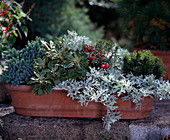 AJANIA pacifica 'Silver 'N' Gold', PERNETTYA MUCRONATA, Artemisia