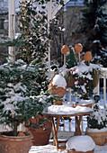 Winterzauber auf dem Balkon: HEDERA HELIX,