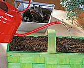 eingepflanzte Ranunkelknollen ANGIEßEN