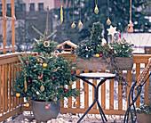 Abies koreana in Rauhreif mit Äpfeln und Meisenringen als Weihnachtsschmuck