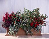 BRASSICA, Erica, SKIMMIA, Artemisia Splendens, CAPSICUM annuum, ROS.'Corsicus