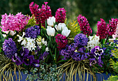 Hyacinthus 'Purple MAGIC', 'PAUL Hermann',