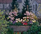 PRUNUS SERRULATA, Tulipa 'THE First', Viola CORNUTA