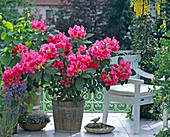 Rhododendron - HYBR.'Anna ROSE Whitney'