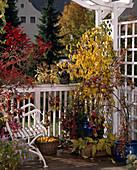 Balkon mit COT.HORIZONTALIS-STÄMMCHEN,PRUNUS X