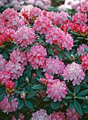 Rhododendron Yakusimanum 'Milano'
