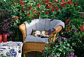 DUFTBALKON mit Salvia rutilans / Ananassalbei,