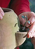 6.Step: Myosotisjungpflanzen in Taschenamphore setzen
