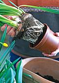 Schale mit vorgetriebenen Frühlingszwiebeln bepflanzen