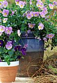Viola cornuta 'Alpine f1 Sky'