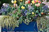Tulipa 'Color Parade', Myosotis sylvatica, Pulmonaria rubra,