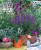 Salvia nemorosa, Salvia coccinea, Salvia argentea