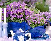 Campanula carpatica ' Blaue Clips'